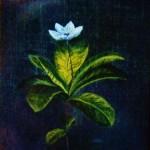 Jag plockade en vit lysande vit skogs stjärna-298 e skogsstjärna - 298