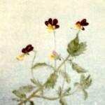 Styvmorsviol - 015