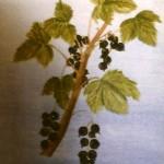 Svarta vinbär - 036