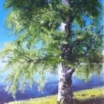Björk i solljus - 529